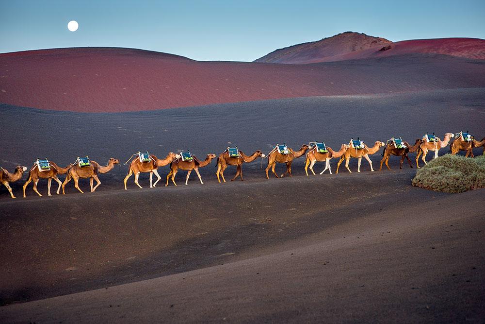 Camellos en Timanfaya
